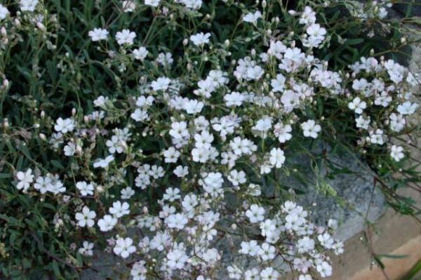 Гипсофила: королева известковых почв