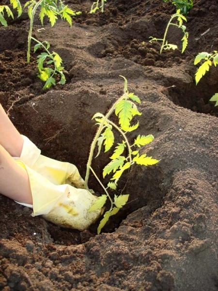 Когда высаживать рассаду помидоров в открытый грунт: время, лучшие дни, советы, фото, видео