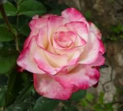 Роза Аленушка: выращивание, описание сорт, посадка, уход, подготовка к зиме