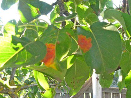Ржавчина на груше и яблоне