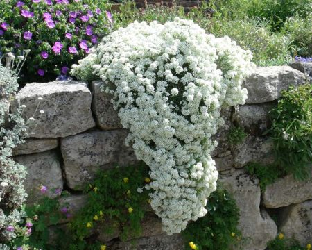 Выращивание алиссума из семян в домашних условиях