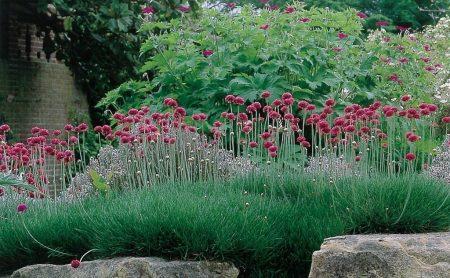 Выращивание армерии из семян, посадка в открытый грунт и дальнейший уход