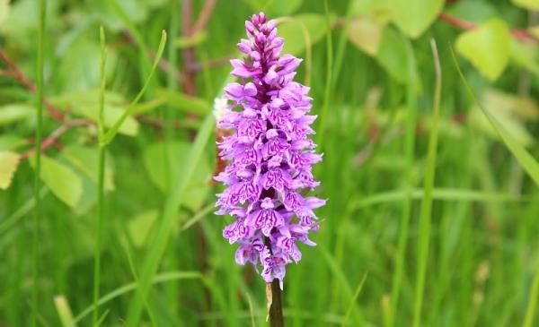 Ятрышник или северная орхидея на вашем участке